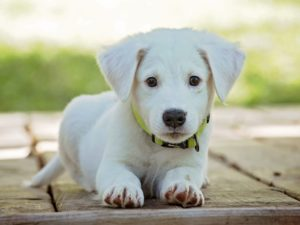 small white puppy fed on Connolly's red mills leader puppy nutritional dog food